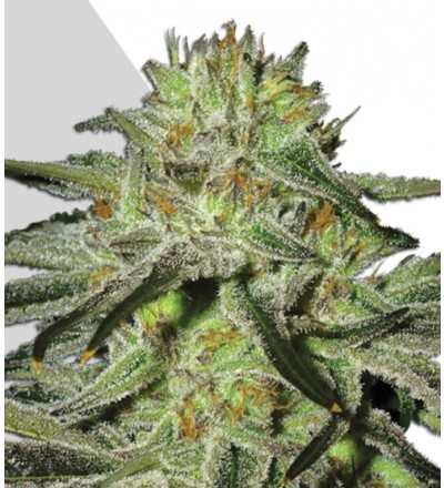 Kush Doctor Auto Seeds