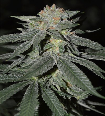 Lemon Venom by Cream of the Crop Seeds