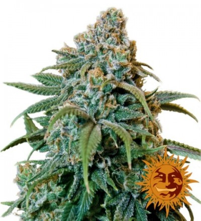 Liberty Haze Feminized – Barney's Farm