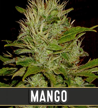 Mango by Blim Burn Seeds