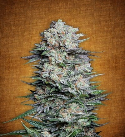Mexican Airlines by Fast Buds Seeds