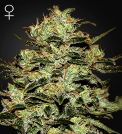 Moby Dick Feminized Marijuana Seeds