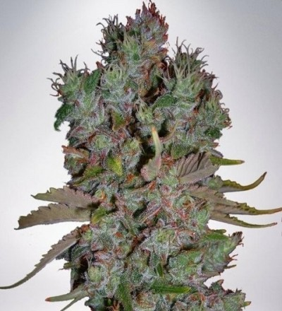 Auto Blueberry Domina by MOC Seeds