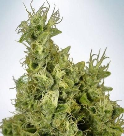 Mandarin Haze by MOC Seeds