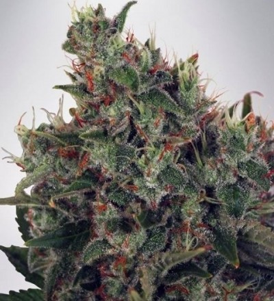 Ultra White Amnesia by MOC Seeds