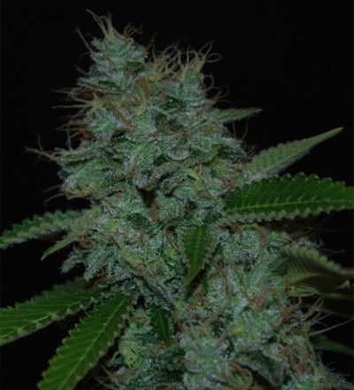 Narcotherapy Auto by Cream of the Crop Seeds