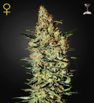 Neville's Haze Feminized Marijuana Seeds