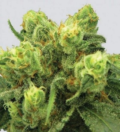 Pre-99 Big Bud Feminized - Nirvana Seeds