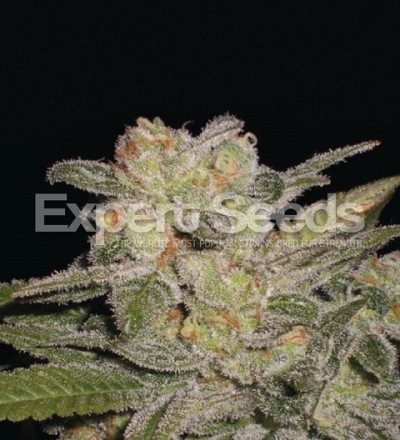 Northern Light Auto by Expert Seeds