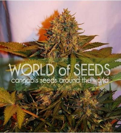 Northern Light x Big Bud Ryder by W.O.S. Seeds