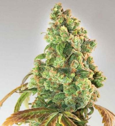 Nurse Lilly CBD by Expert Seeds