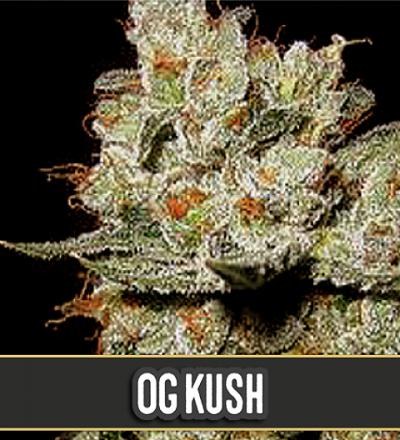 OG's Kush by Blim Burn Seeds
