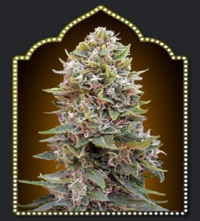 OO Seeds Auto Hashchis Berry