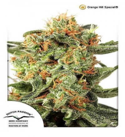 Orange Hill Special by DP Seeds