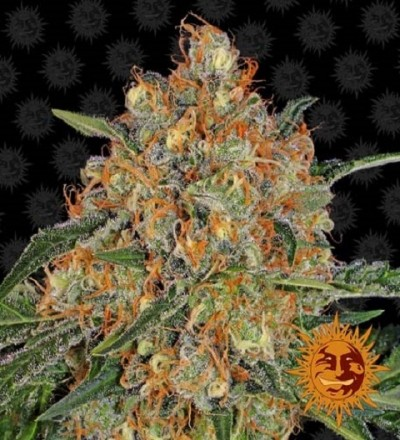 Orange Sherbert by Barney's Farm
