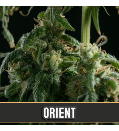 Orient Automatic by Blim Burn Seeds-3