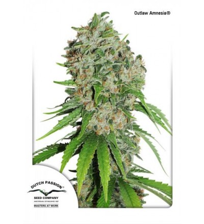 Outlaw Amnesia Regular - Dutch Passion