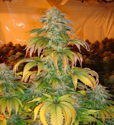 Paradise Seeds Spoetnik