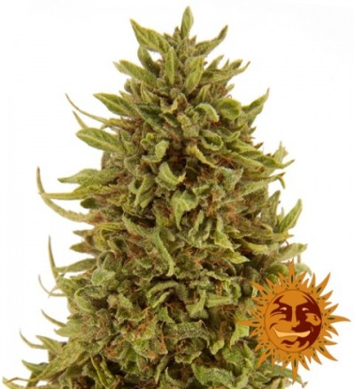 Pineapple Express Auto Feminized - Barney's Farm