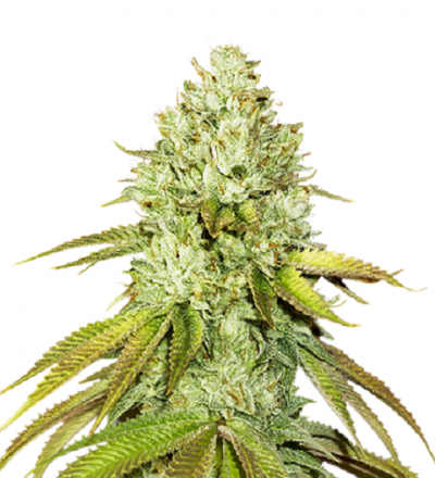 Pineapple by Seed Stockers