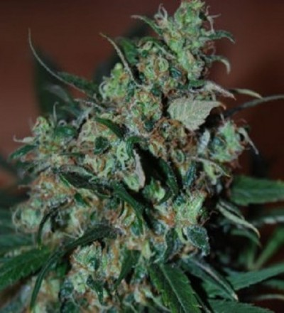 Power Bud by Black Skull Seeds