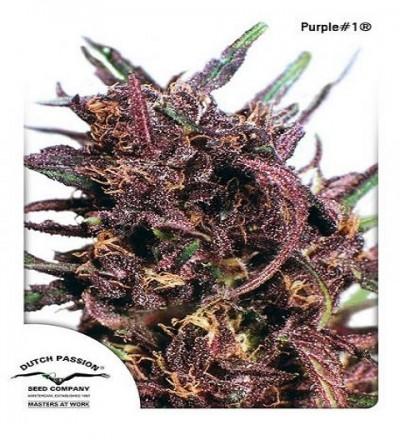 Purple #1 by DP Seeds