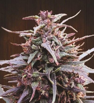 Purple Haze x Malawi Feminized by Ace Seeds