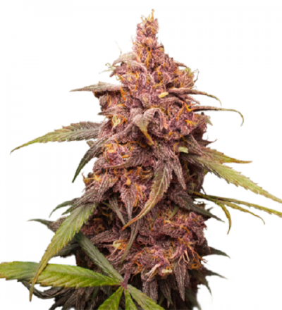 Purple Punch by Seed Stockers