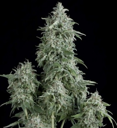 Anubis by Pyramid Seeds