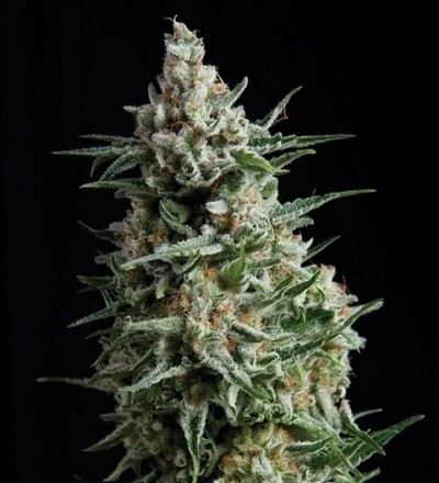 Auto Anesthesia by Pyramid Seeds