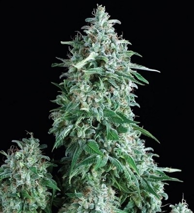 Auto Anubis by Pyramid Seeds