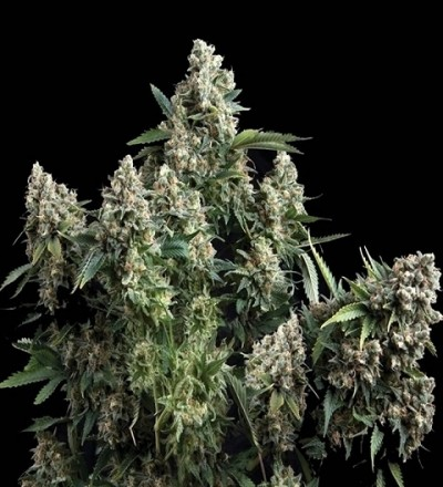 Tutankhamon Feminized - Pyramid Seeds