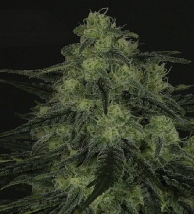 Black Valley by Ripper Seeds
