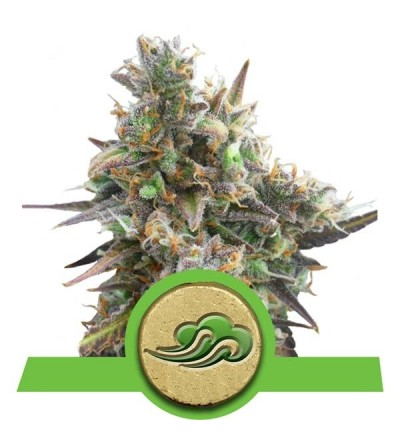 Royal Bluematic Feminized by Royal Queen Seeds