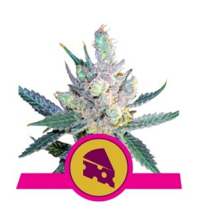 Royal Cheese Feminized by Royal Queen Seeds