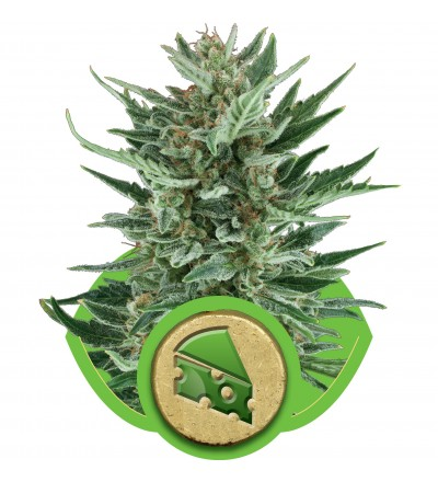 Royal Cheese Automatic by Royal Queen Seeds