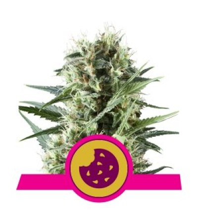 Royal Cookies Feminized by Royal Queen Seeds