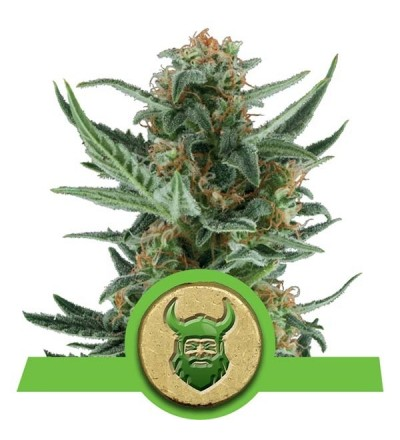 Royal Dwarf Feminized by Royal Queen Seeds