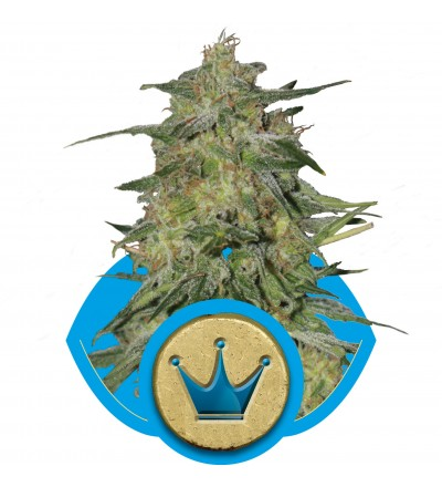 Royal Highness Feminized by Royal Queen Seeds