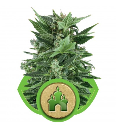 Royal Kush Automatic by Royal Queen Seeds