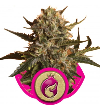 Royal Madre Feminized by Royal Queen Seeds