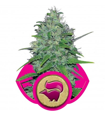 Skunk XL Feminized by Royal Queen Seeds