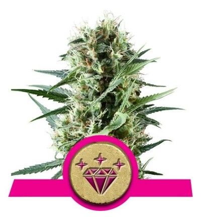 Special Kush #1 Feminized by Royal Queen Seeds