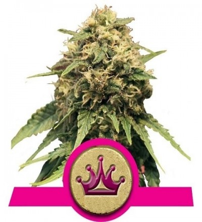 Special Queen #1 Feminized by Royal Queen Seeds