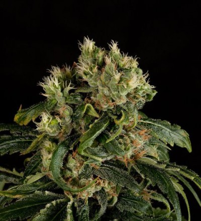 Santa Sativa Feminized by Dinafem Seeds