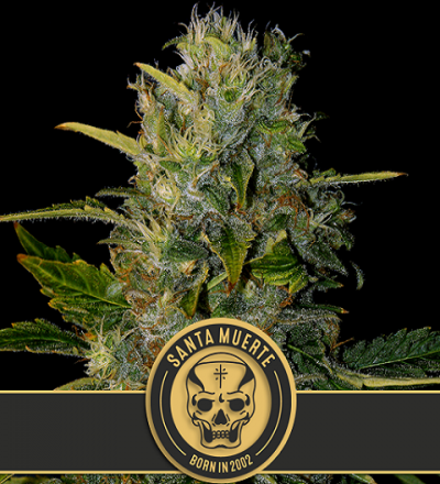 Santa Muerte by Blim Burn Seeds