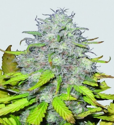 Auto Jock Horror by Sativa Seedbank Seeds