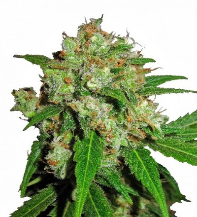 Skunk Feminized by Sensi Sensi Seeds
