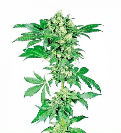 Afghani #1 Feminized by Sensi Seeds