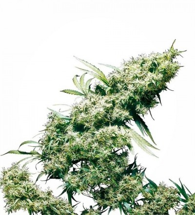 Jamaican Pearl Feminized by Sensi Seeds